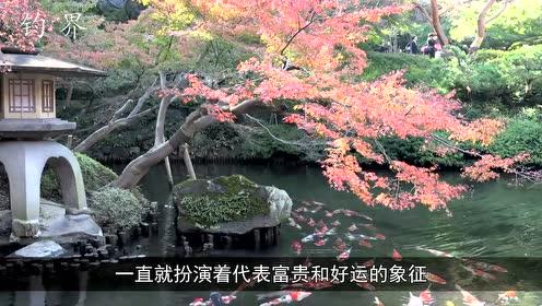 世界上少有的蓝色锦鲤,要不是亲眼所见,真不敢相信!