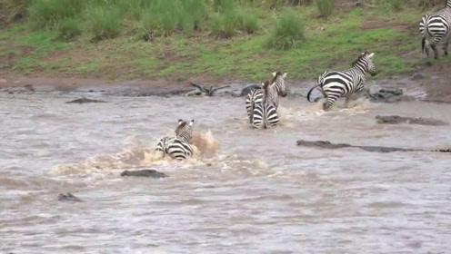 """斑马群集体过河,却被鳄鱼""""拦路打劫"""",镜头记下惊险时刻!"""
