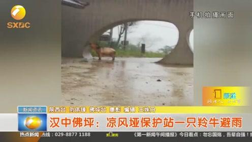 汉中佛坪:凉风垭保护站一只羚牛避雨