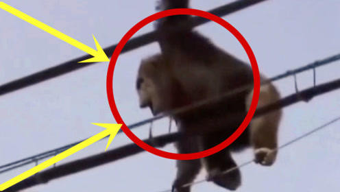 大猩猩作死爬上高压线,救援人员开了一枪,场面瞬间失控!