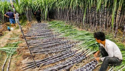 世界上最高的甘蔗,轻轻松松长达7米,表皮果肉都是白的!