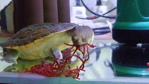 小伙野外捡到一只乌龟,拿回家养了一段时间后,发现不对劲!