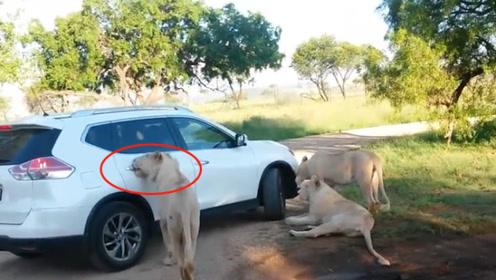 狮子成精咬开车门,女子吓得大声尖叫,镜头拍下全过程