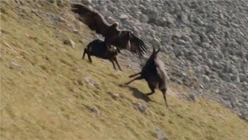 老鹰捕猎岩羊,刚以为能饱餐一顿,没想到下一秒意外发生!