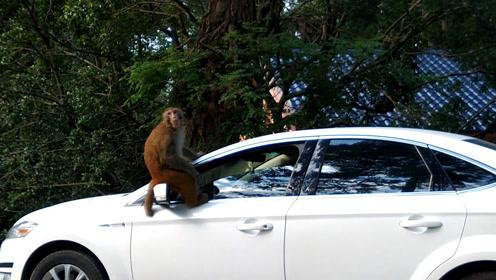 车主崩溃!小车里有香蕉,猕猴坐守车顶和人对峙1小时