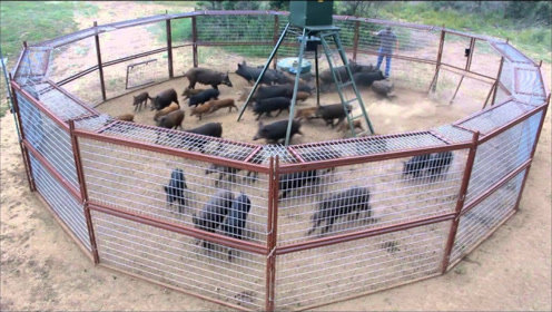 一群野猪出门觅食,谁知套进陷阱中,网友:这招让猪猝不及防!