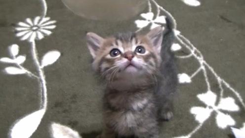 小奶猫着急开饭,嫌主人速度太慢,不停催促嚷嚷