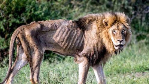 这头瘦成皮包骨的雄狮,真的是为了尊严而战吗,真相让人不淡定了