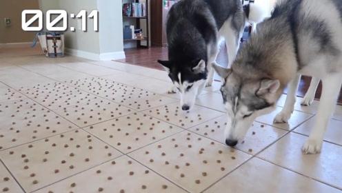 猜猜两只哈士奇吃1000粒狗粮要多久时间?这也太快了