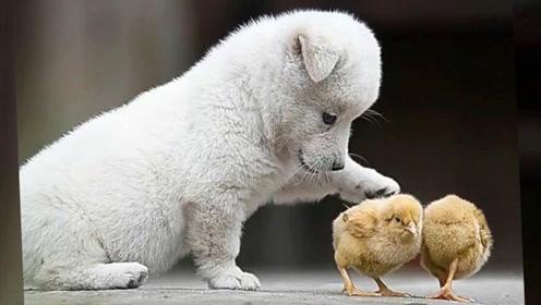 """小奶狗日常""""吸鸡"""",场面暖心治愈,一起来看看!"""