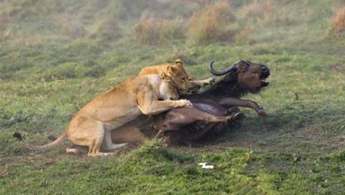 狮子捕杀水牛,抓到一只上去就是咬,水牛毫无抵抗能力