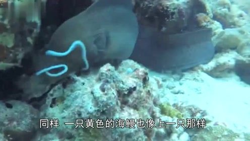 海鳗猎杀章鱼,海床下惊心动魄的战斗,不禁感叹自然之美