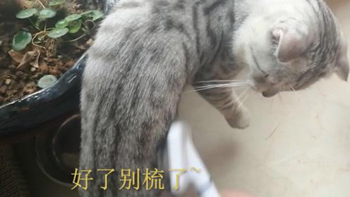 主人给小猫梳毛,只敢选在它吃饭的时候,猫:我咬你了啊