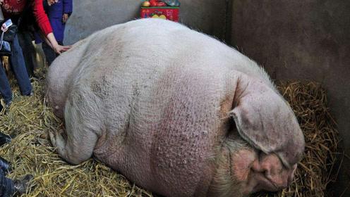 亚洲猪王!河南大爷养11年体重1680斤,一天吃57斤食物!