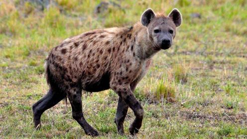 """非洲草原""""二哥""""鬣狗,为啥在非洲人手里非常的听话?全因这招!"""