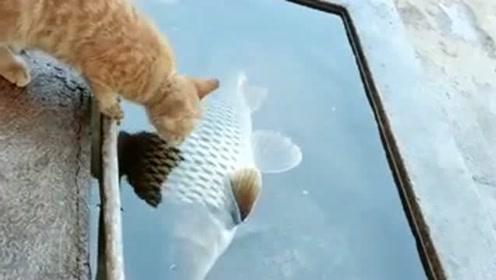 心有鱼而力不足啊,看把小猫馋的,恨不得跳水里!