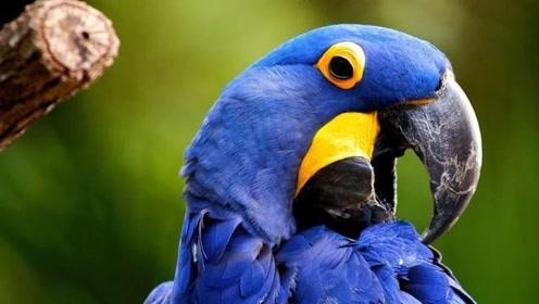 """珍贵的""""紫蓝金刚鹦鹉""""小时候这么丑,长大后却美得不像话"""