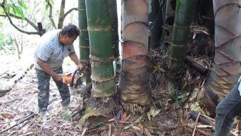 世界上最大的竹笋,用电锯才能获得,我国云南也有!