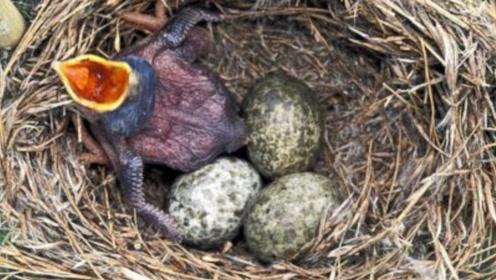 世界上最狠毒的鸟,一出生就想着害人,却被世人歌颂两千年
