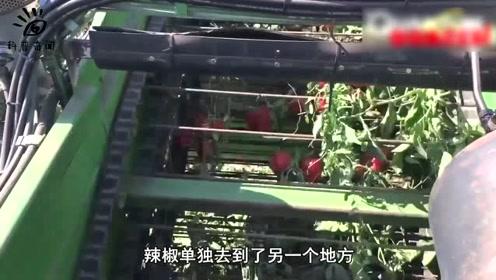 有了它,摘辣椒才更快,到底是什么呢?
