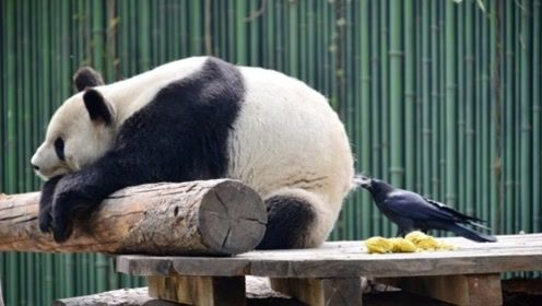 两只乌鸦想吃熊猫,熊猫的反应,能让人笑一年!