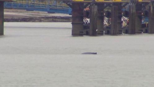 一只座头鲸游到伦敦泰晤士河中 环境专家称是好消息