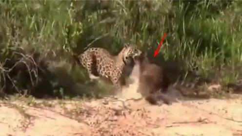 花豹凶残猎杀小野熊,一口咬碎头盖骨,镜头记录惨烈全过程