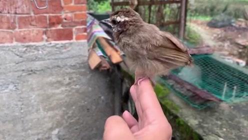 小鸟吃饱喝足之后,自己主动的飞进笼子里,自我管理意识真强