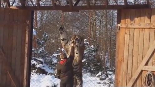 真正的东北虎究竟有多大?要不是镜头拍下,谁能想到它们这么霸气