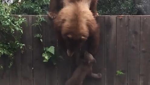 棕熊妈妈教孩子翻墙,结果小熊翻不过去,便出现了搞笑的一幕,真是亲妈!