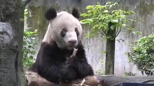 中国大熊猫在英国遇意外!负责人表示是为其安全着想?中国网友:我们要召回