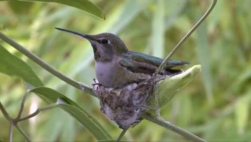 蜂鸟筑巢,从无到有,感叹一声辛苦