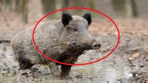 """俗语""""一猪二熊三老虎"""",碰到野猪不要怕,老猎人传授你保命技巧"""