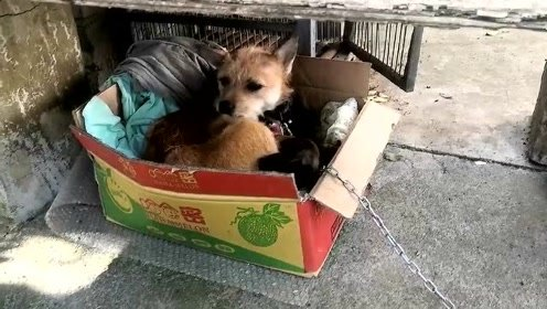 萌宠 邻居家收养的流浪狗生的一窝小土狗,临时给它搭个窝!