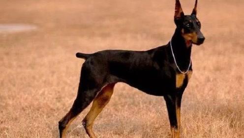 """为什么有些狗狗一出生,就要被""""断尾""""?真相让人心酸"""