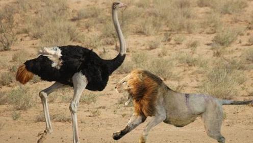 """狮子捕食落单小鸵鸟,小鸵鸟一招""""掩耳盗铃"""",头埋在土里躲狮子"""