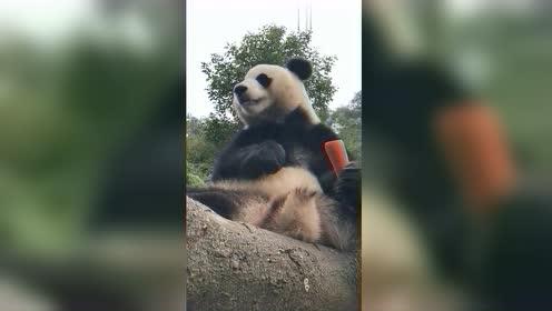 全网最萌的吃播,大熊猫吃东西,这一幕我能看一百遍