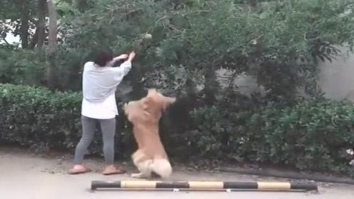 这绝对算得上是团伙作案,主人把树枝扯下来,金毛赶紧跳起来偷!