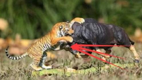 非洲野牛到底有多强悍?老虎被它直接打成稀巴烂,简直不能太强
