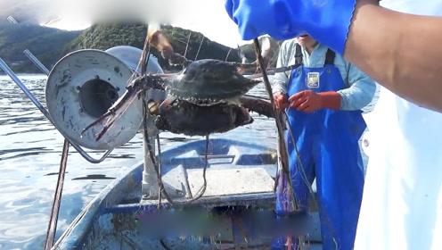 螃蟹最肥美的季节,看看近海渔业如何捕捞梭子蟹!