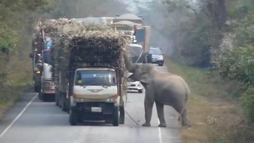 满载的货车从大象面前驶过,大象化身当地土匪,所有车辆无一幸免