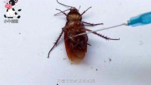 蟑螂的生命力到底有多强?小伙将硫酸注射进体内,结局很意外