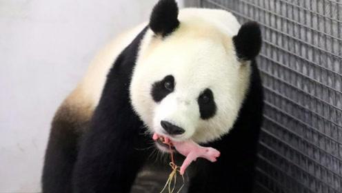 """大熊猫生娃有多""""猛""""?饲养员:怀孕了不想生,就自动停止妊娠!"""