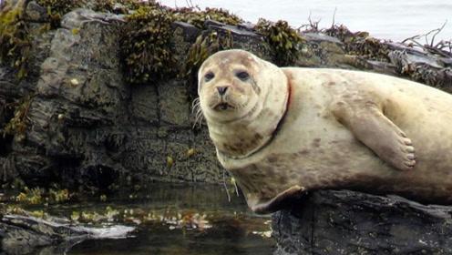 如何营救被鱼网绕颈的小海豹 看完你还会往海里丢垃圾么