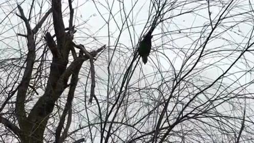 出去玩捡到了一只鹦鹉,也不知道是谁家跑出来的,估计站在枝头在想家吧!
