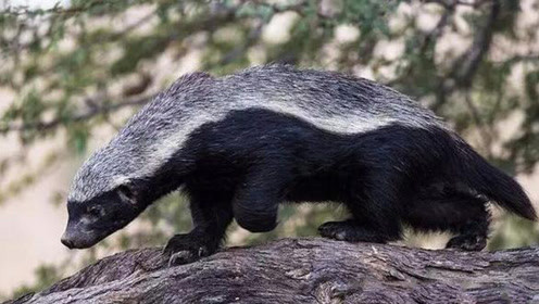 """四五只鬣狗被平头哥""""掏肛"""",画面辣眼睛,蜜獾就你会""""掏肛"""""""
