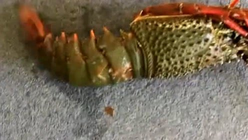 从没有见过这么嚣张的龙虾,对自己这么下得去手,真是太狠了!