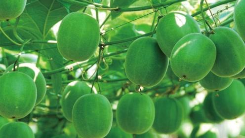 它是中国独有的水果,却不能生吃,原因什么