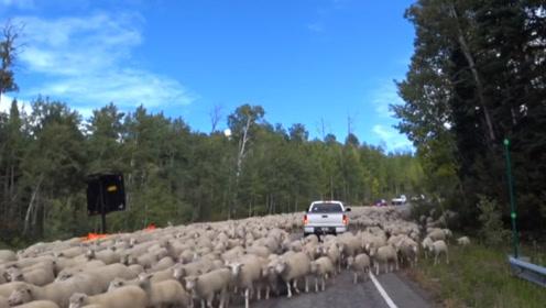 上万只绵羊跑上马路,不料一辆车开过来,场面下一秒就失控了!