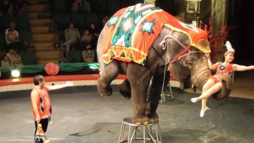 大象表演节目,站凳子上金鸡独立转圈圈,大象:赚口吃的不容易